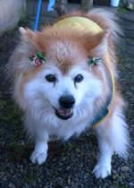 最長寿ギネス犬 「プースケ」